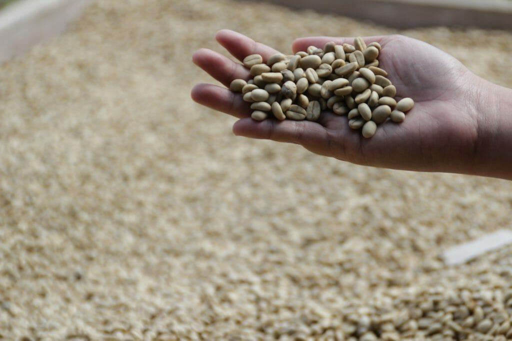 Le café Kopi Luwak